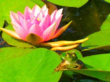 lotus-frog